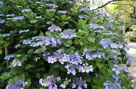 高幡不動尊金剛寺の紫陽花