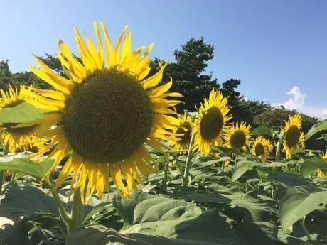 東京農大ひまわり畑の大きなひまわり