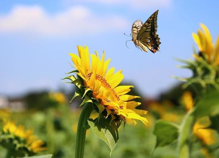 清瀬ひまわりフェスティバルのひまわりと蝶々