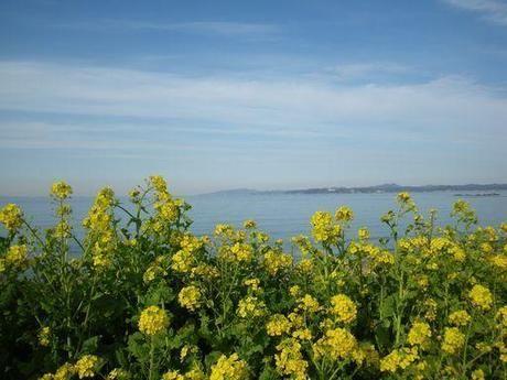 房総フラワーラインで見られるの菜の花と海