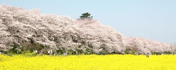 権現堂公園の菜の花畑と満開の桜