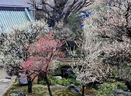 湯島天満宮の咲き誇る梅の花