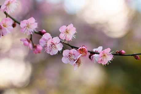 谷保天満宮の梅の花