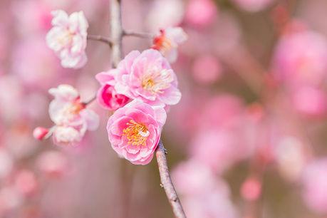 府中市郷土の森博物館の梅の花