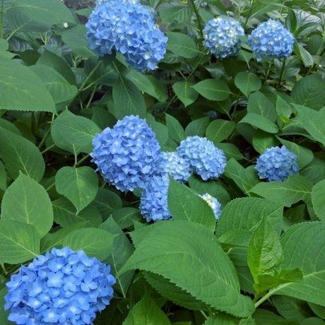 としまえんの青い紫陽花