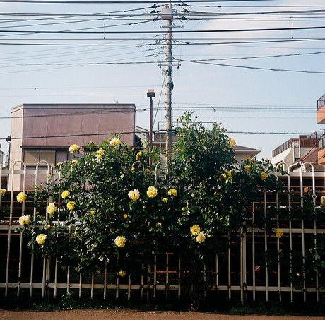 都電荒川線沿線で見られるバラ