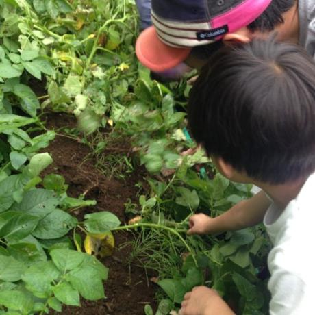 ジャガイモ掘りをする親子