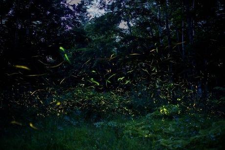 夜の森を飛び回るホタル