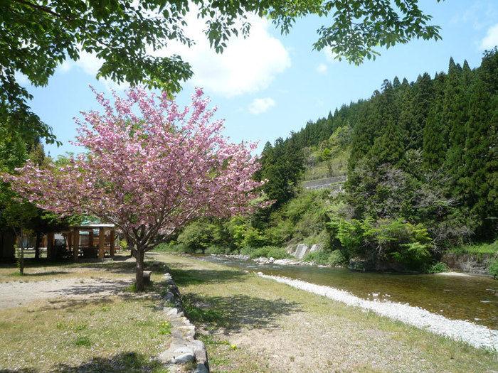 板取川三ツ石オートキャンプに咲く桜