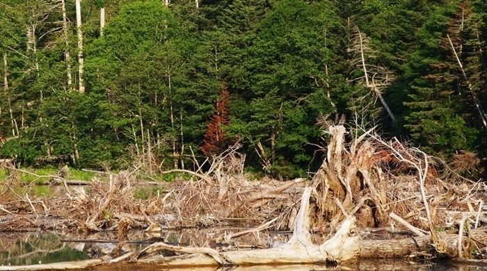 然別湖北岸野営場の流木