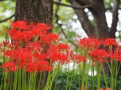 巾着田に咲く曼珠沙華