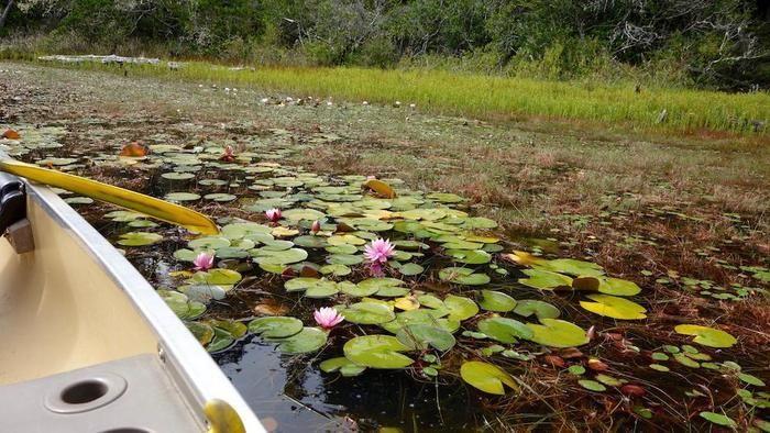 淡水湖のピンクの花を咲かせた睡蓮