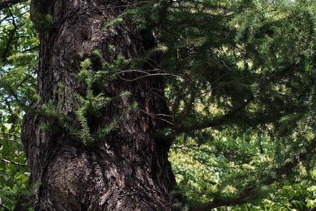 登山口に生い茂るカラマツ