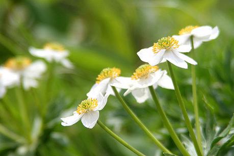 池の平湿原に咲く白い花