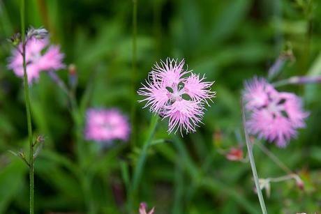 池の平湿原に咲くピンクの花