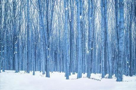 雪に覆われた木が鬱蒼と茂る林