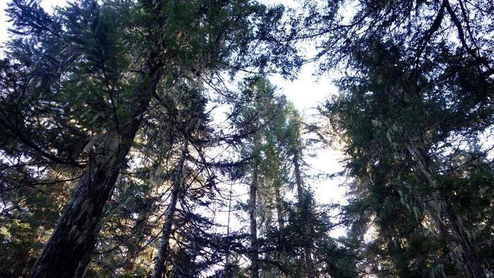 下から見上げた森の木々