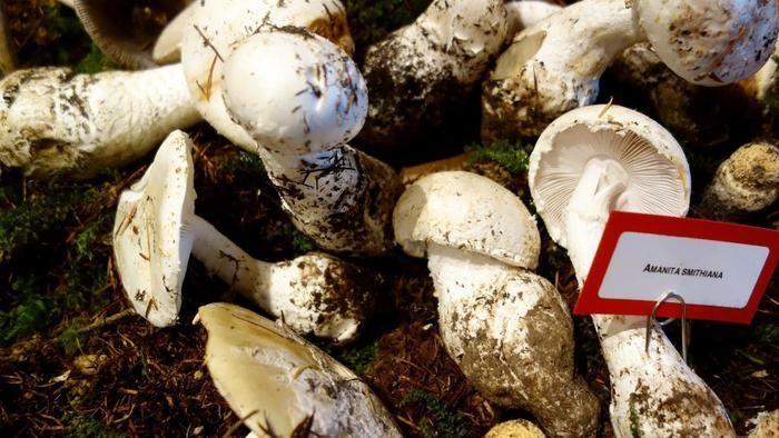 松茸と毒キノコが混同している写真