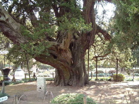 建長寺の柏槙の木