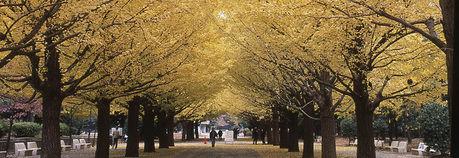 光が丘公園の銀杏並木