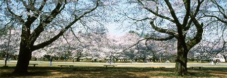 桜の季節の小金井公園芝生広場