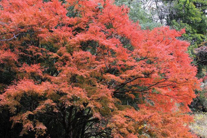 ハイキングコースの鮮やかな紅葉