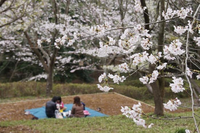 手賀の丘公園の桜の写真