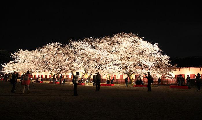 舞鶴公園のライトアップされた夜桜