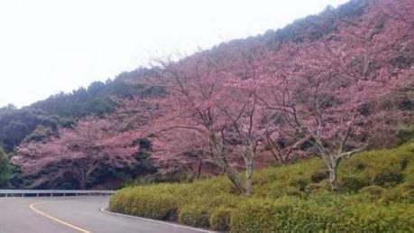 嵐山・高尾パークウェイの桜の木々
