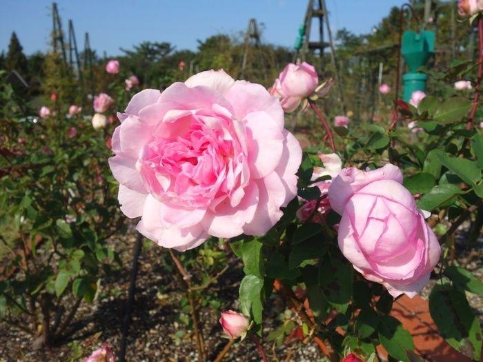 浜寺公園の花