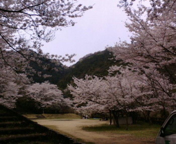 鳥取池緑地・桜の園 満開の桜