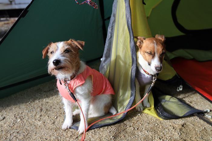 テントの中の2匹の犬