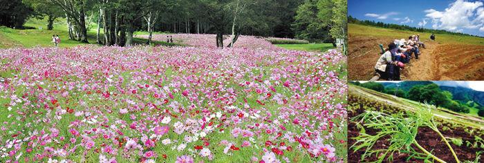黒姫高原のコスモス畑