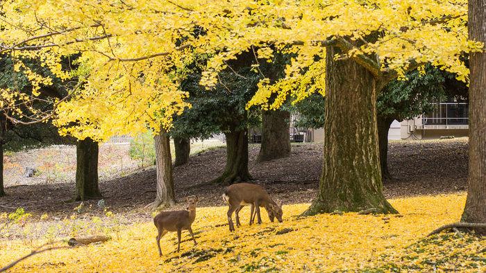 奈良公園の紅葉したイチョウと鹿