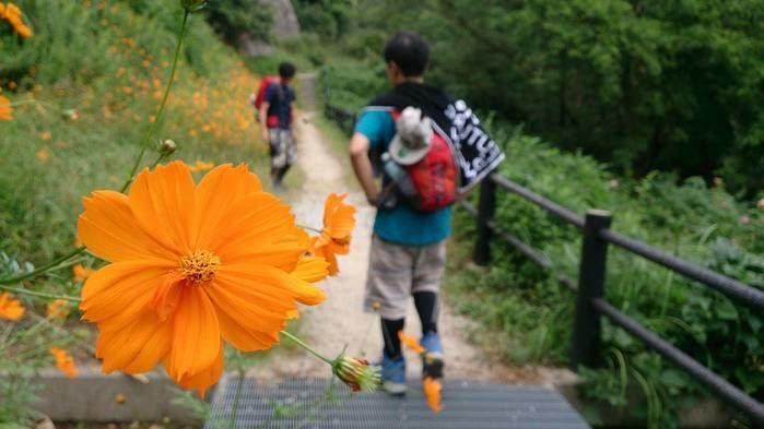ハイキングをする人とコスモスの花