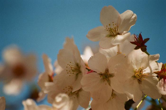 桜の花弁の画像