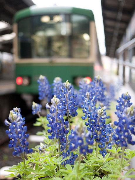 江ノ島電鉄と花