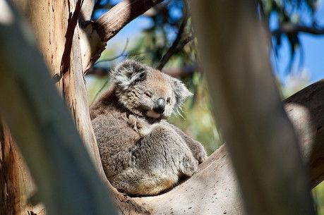 木の上で寝ているコアラ