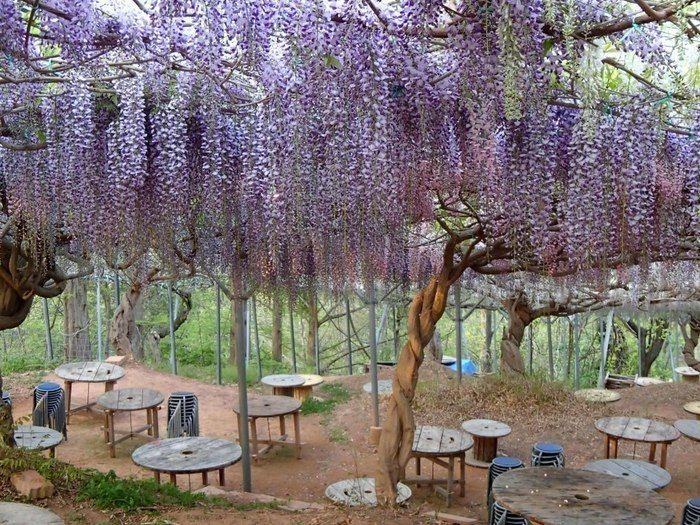 平田観光農園 藤棚の下のバーベキューハウス
