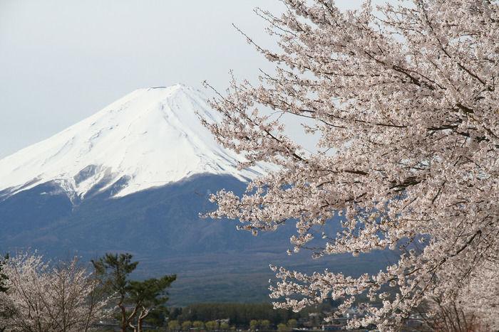 富士山を背景に咲く桜