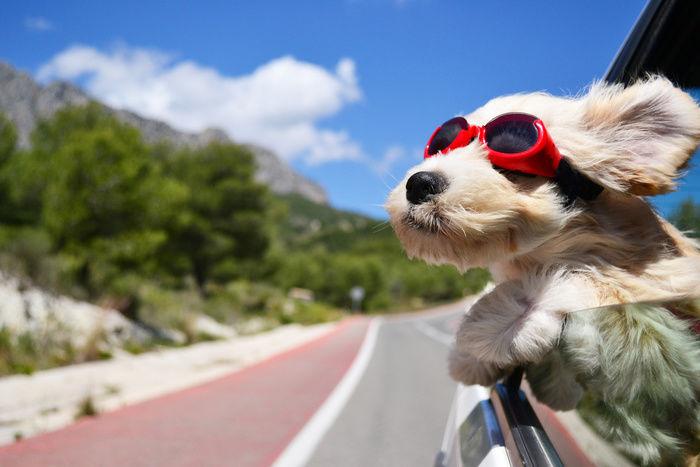 サングラスをして車から顔をだす犬