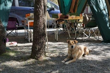 キャンプをしている横に伏せる犬