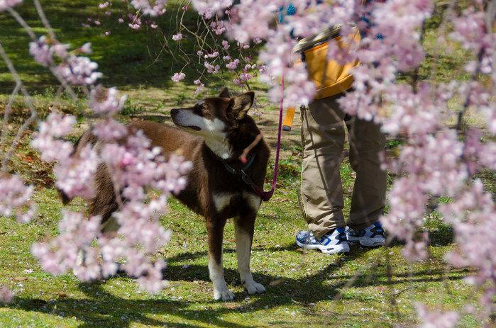 桜の下で散歩している人と犬