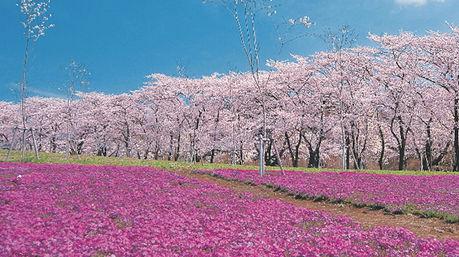 赤城山オートキャンプ場のお花畑