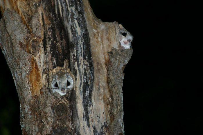 木の穴から顔を出すエゾモモンガ