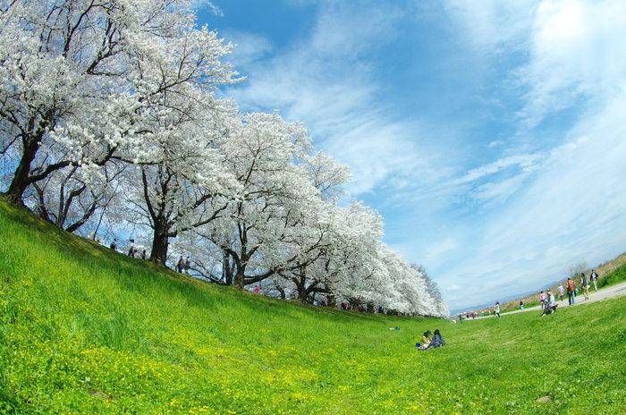 晴れた日に芝生の上で花見