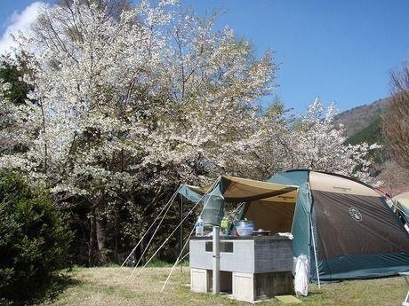 大佐山オートキャンプ場で桜の下に設営されたテント