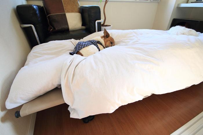 コットハイテンションのベッドの上で寝ている犬