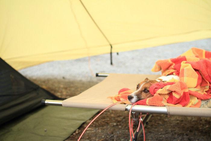 テント内のコットハイテンションに座る犬