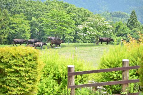 彩の国ふれあい牧場の牛たち